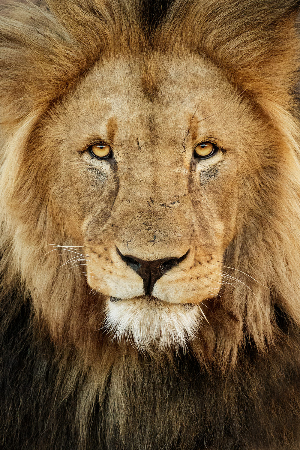 A close-up of a Lion's face. Photo by Photographers Bob and Dawn Davis