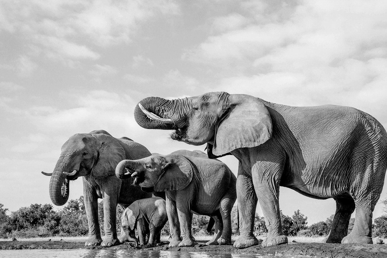 A herd of elephants in black and white. Photo by Photographers Bob and Dawn Davis