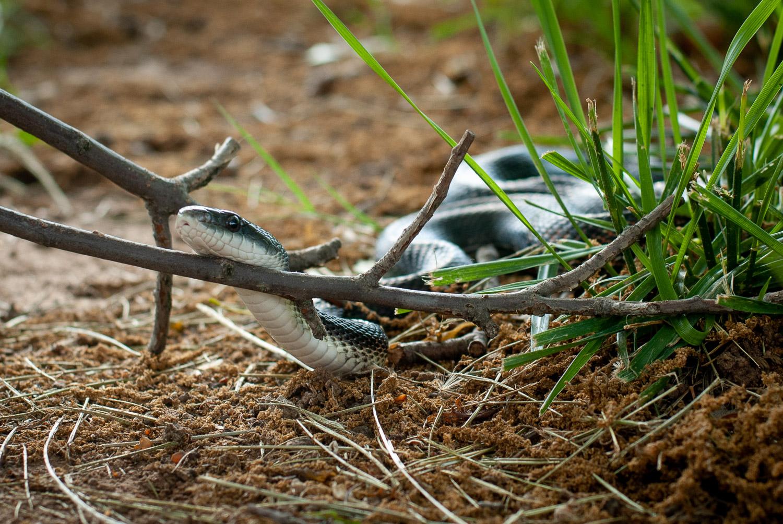 backyard photo safari snake in grass