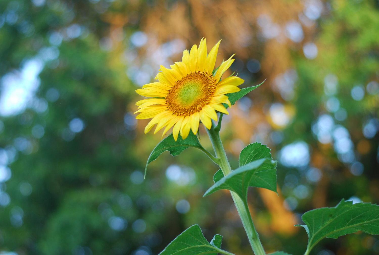 backyard photo safari sunflower