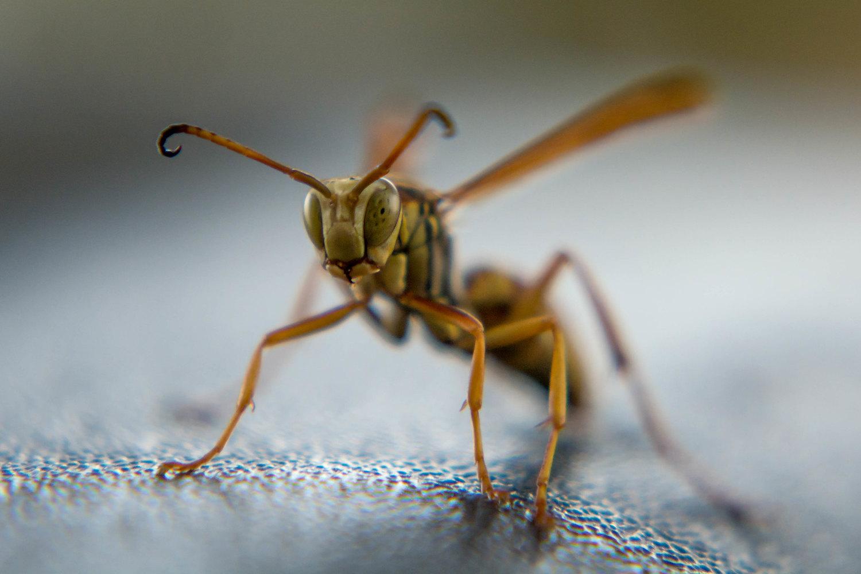backyard photo safari wasp