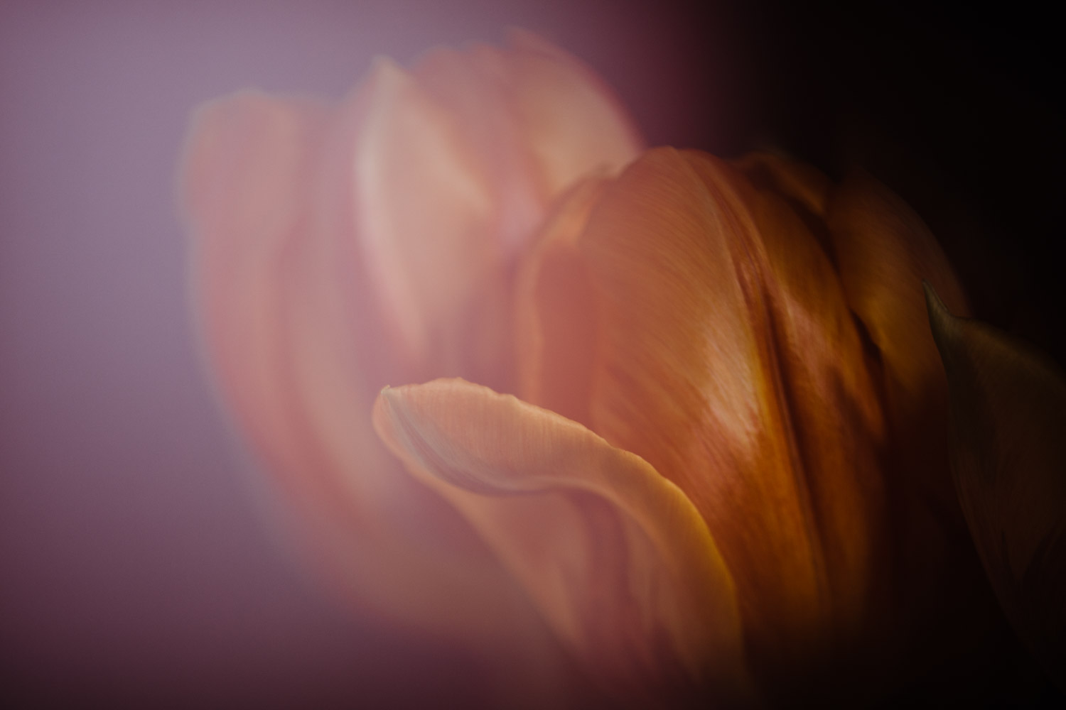 Freelensing for Creative Photography. Pink Tulips