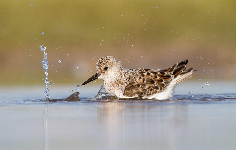 sanderling in the water choosing a focus mode