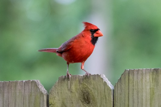 Color Adjustments in Lightroom Red Cardinal