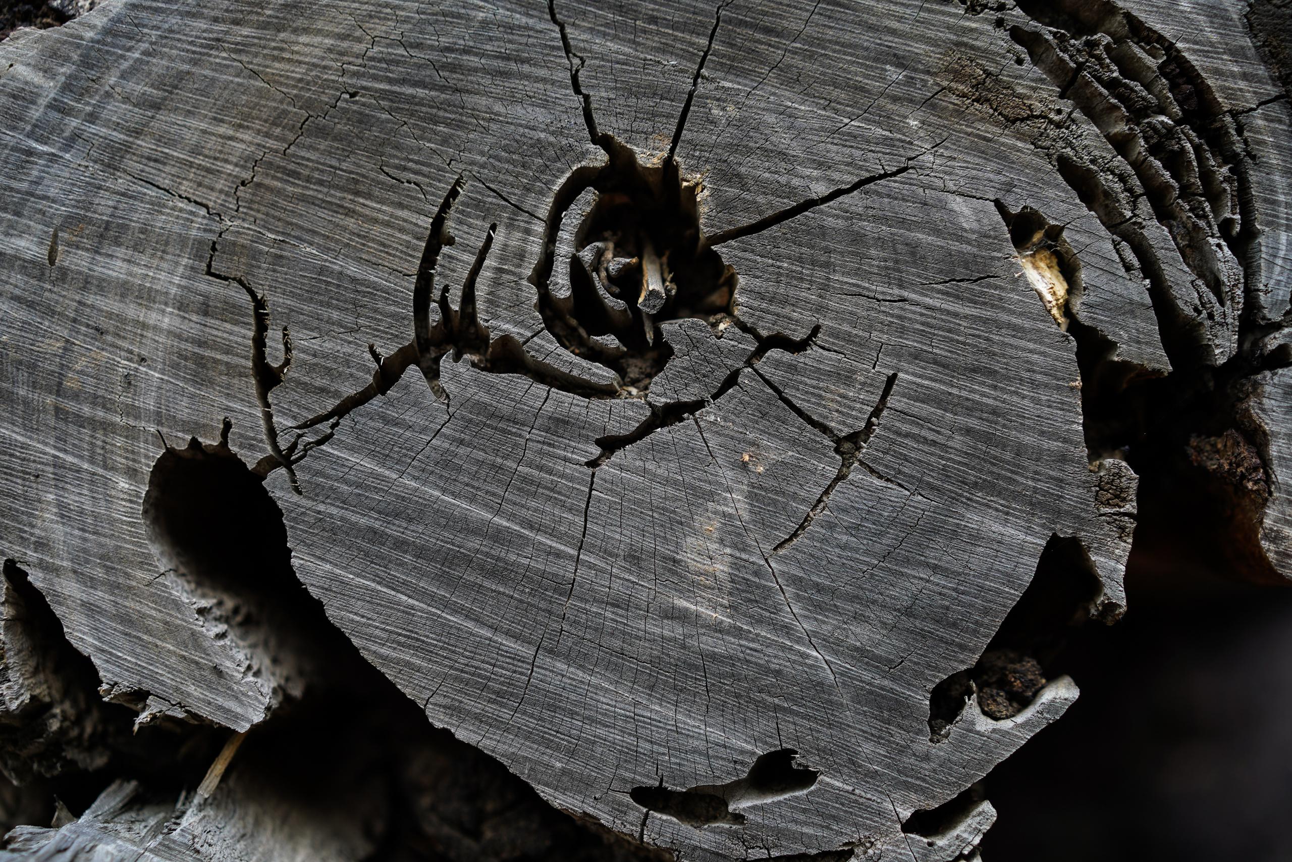 árvore caída, anéis de madeira, formigas, detalhe, dps