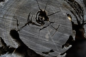 fallen tree, wood rings, ants, detail, dps