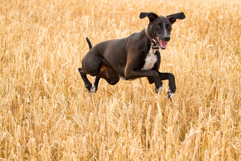 cachorro pulando em um campo