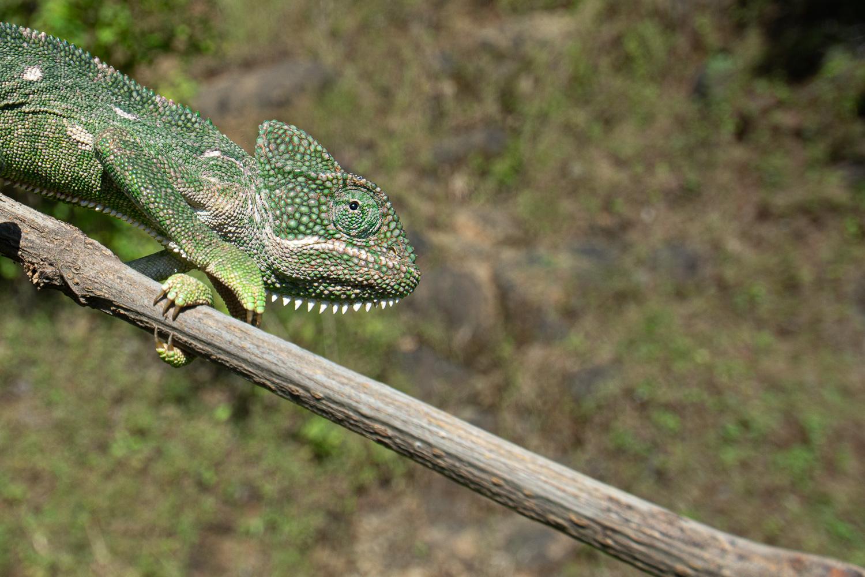 Chameleon after texture slider is applied in Lightroom lightroom tools nature photography