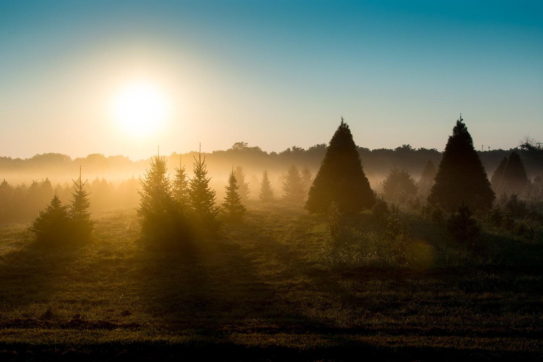 Backlighting sunrise pine trees