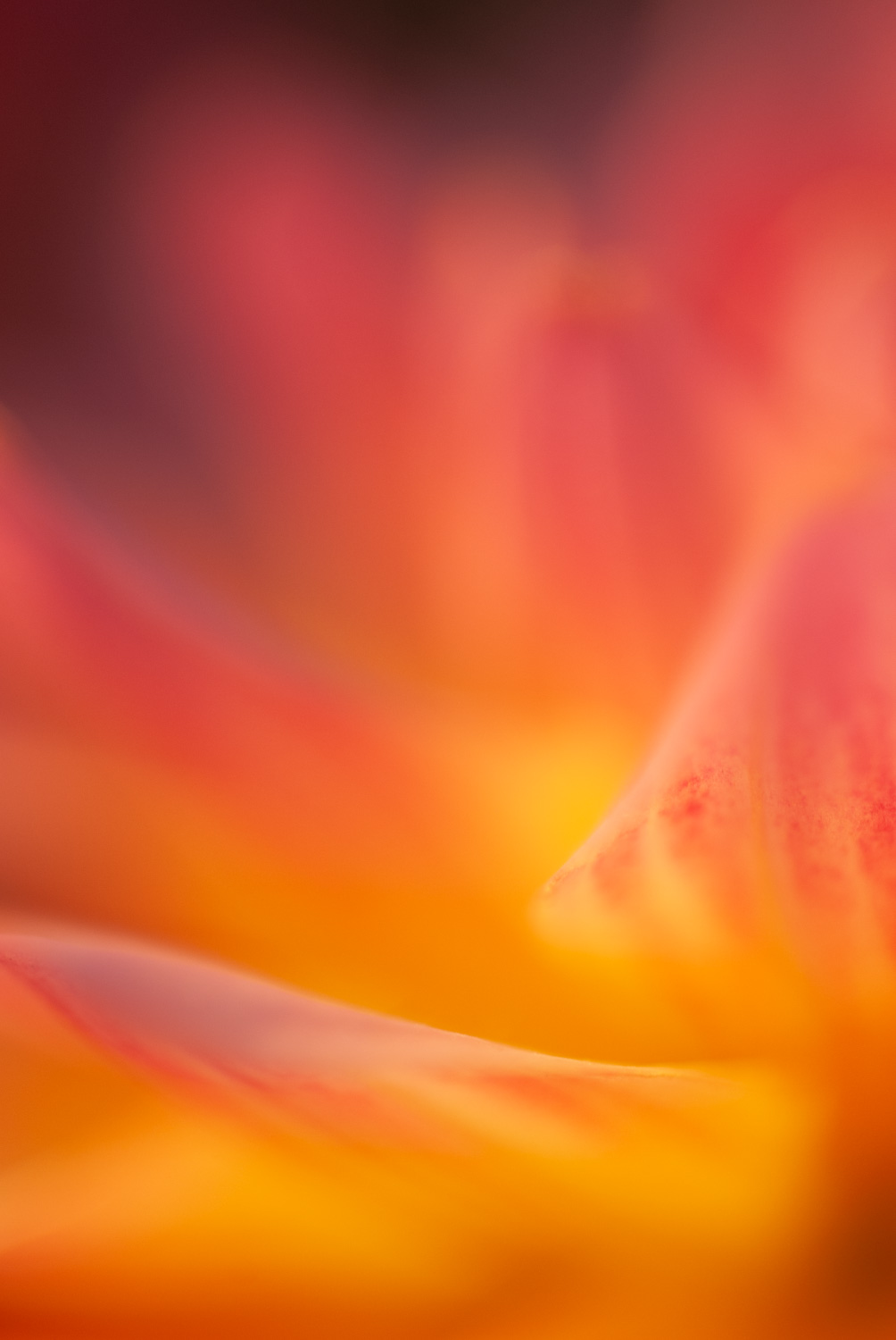 aperture priority mode and shutter priority mode shallow depth of field dahlia