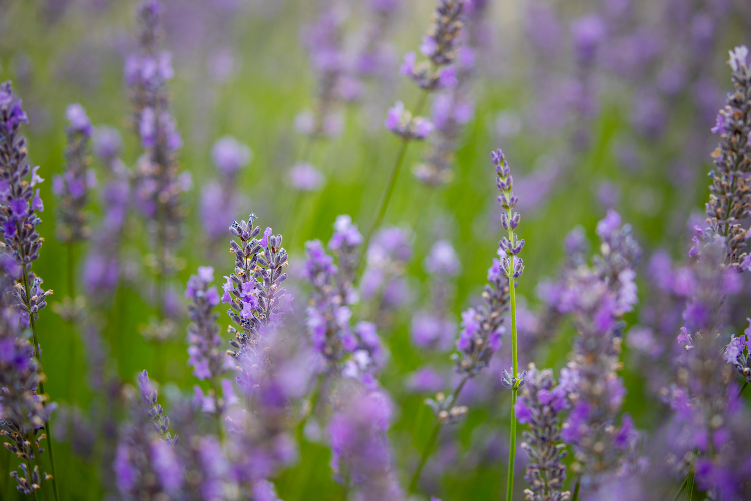 a reduced opacity version of the lavender image