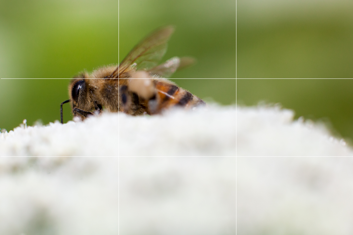 Rule of thirds example - a bee on a flower