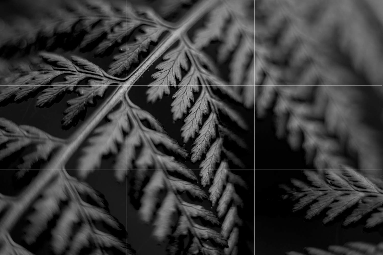 Rule of thirds examples - a macro photograph of a fern in black and white
