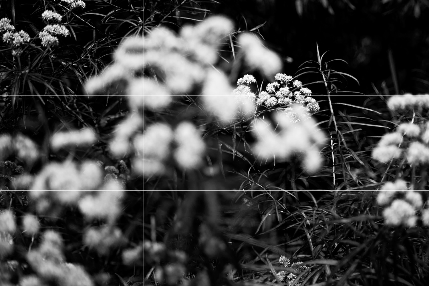 Rule of thirds example - flowers in black and white