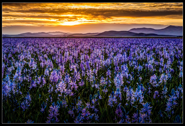 camas fields in Idaho