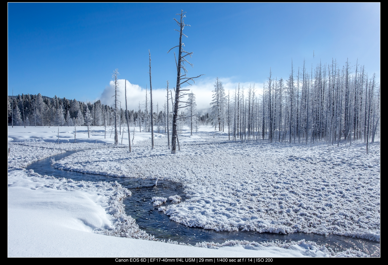 Yellowstone trees