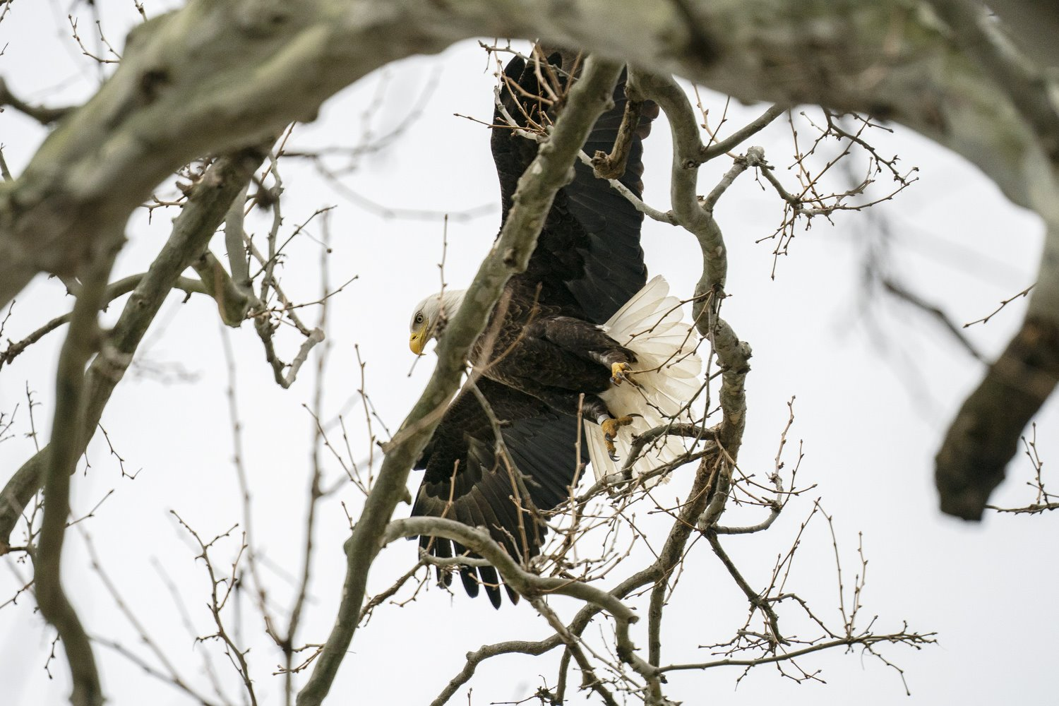 bald eagle taking off from branch