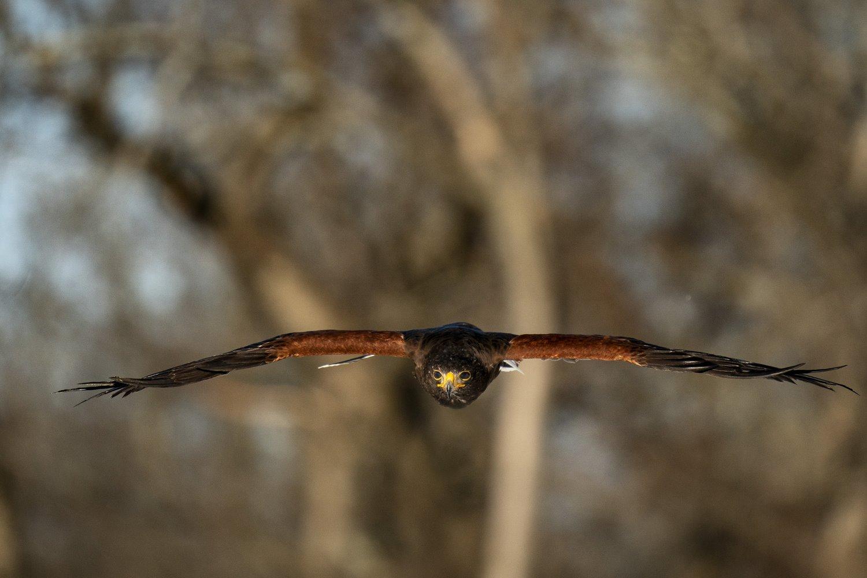 hawk flying toward the camera