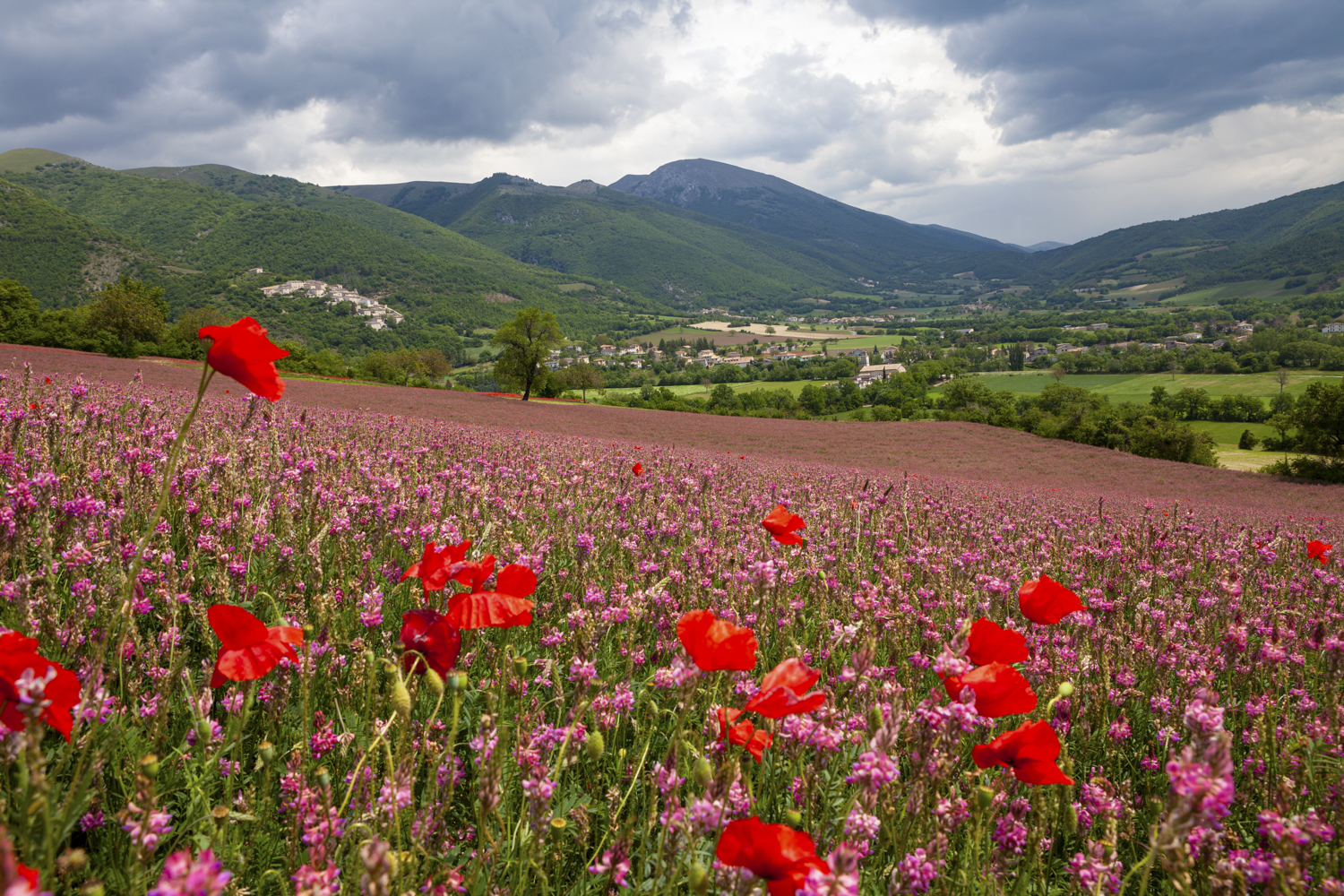 field of poppies with mountains in the background
