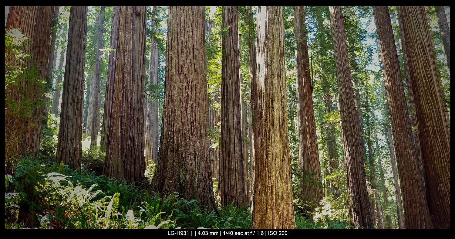huge trees in a forest