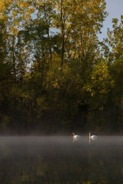 swans on a lake with a deep depth of field