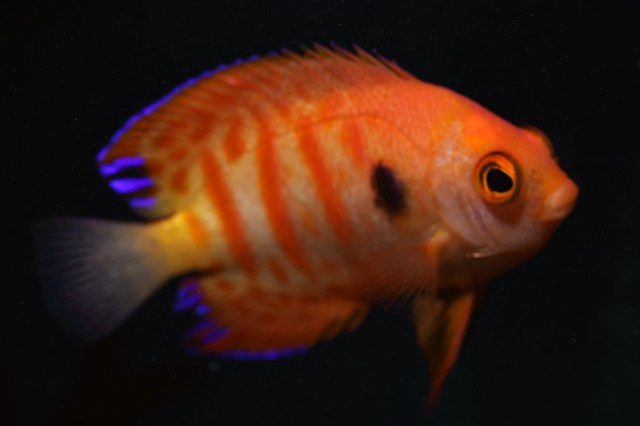 An unusual variant with pale body - postulated to be a Micronesian variant or possible hybrid species (Michael, S - Reef Fishes Vol 3, 2004)