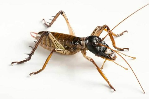 ¿Cuáles son los insectos más grandes del mundo?