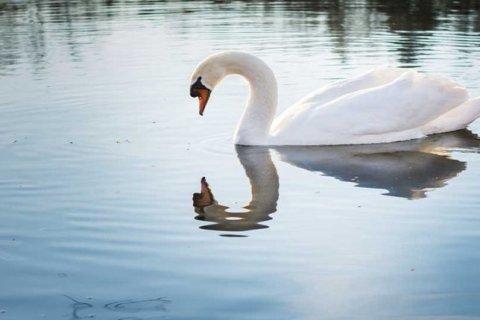 Los cisnes hacen «windsurf» para desplazarse por el agua