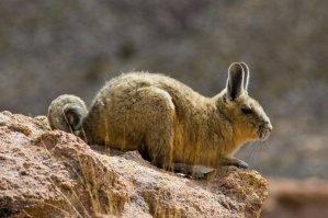 Encuentran en Bolivia chinchillas que se creían extintas