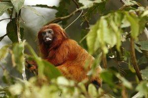 Mono en peligro de extinción reaparece en Río de Janeiro