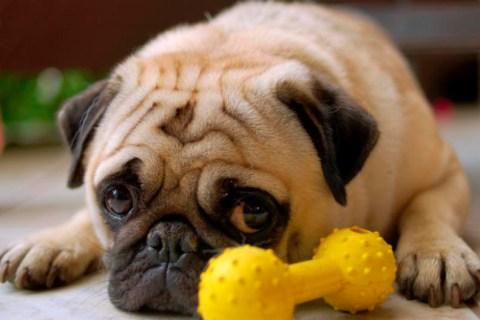 Cómo calmar el estrés producido por el celo en los perros