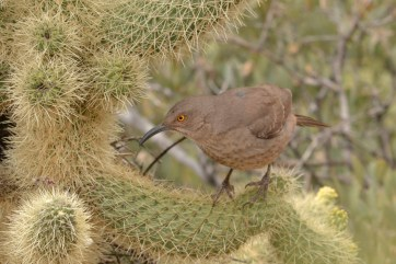 curve-billed-thrasher-tonto-3