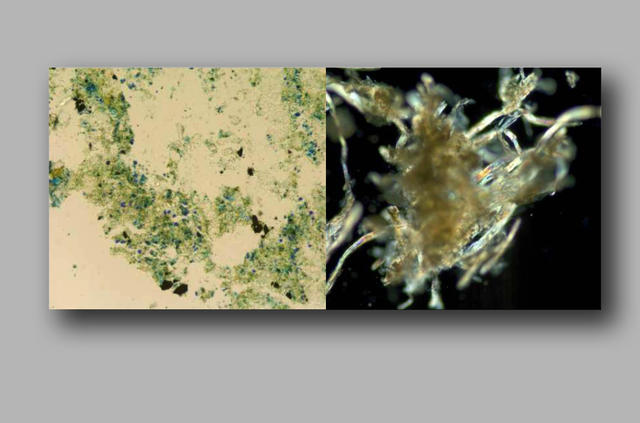Pigment fibers found in rats' nest.