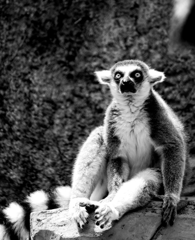 LEMUR BY amy-reed-436216-unsplash