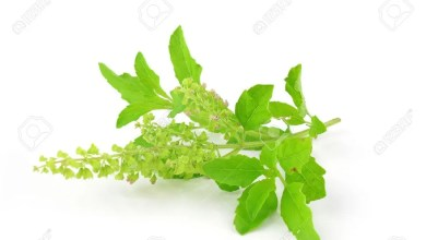 holy-basil-or-tulsi-leaves-isolated-over-white-background