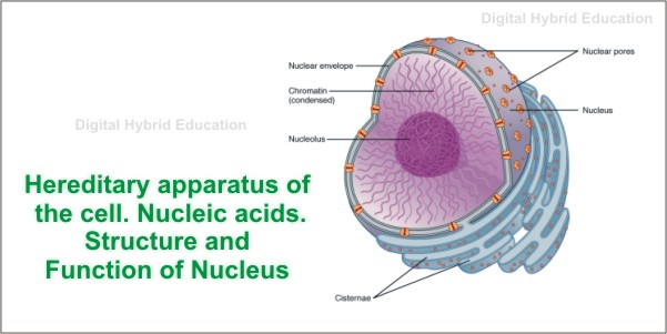 Nucleic acids Structure and Function of Nucleus