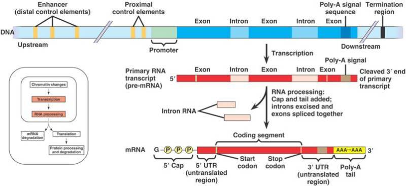 Processing of pre-mRNA involves the following steps: