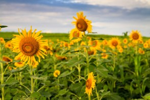 sunflowers , Sunflower Fields , India , Hyderabad , Photography , travel India