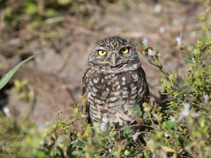 burrowing owl in cape coral