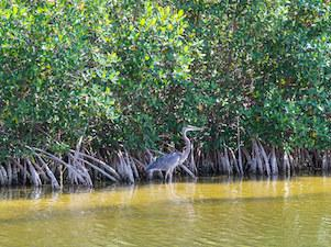 mangroves in cape coral