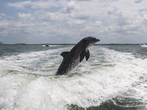 dolphin in cape coral