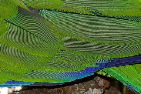 Moire on parrot feathers © Fir0002/Flagstaffotos