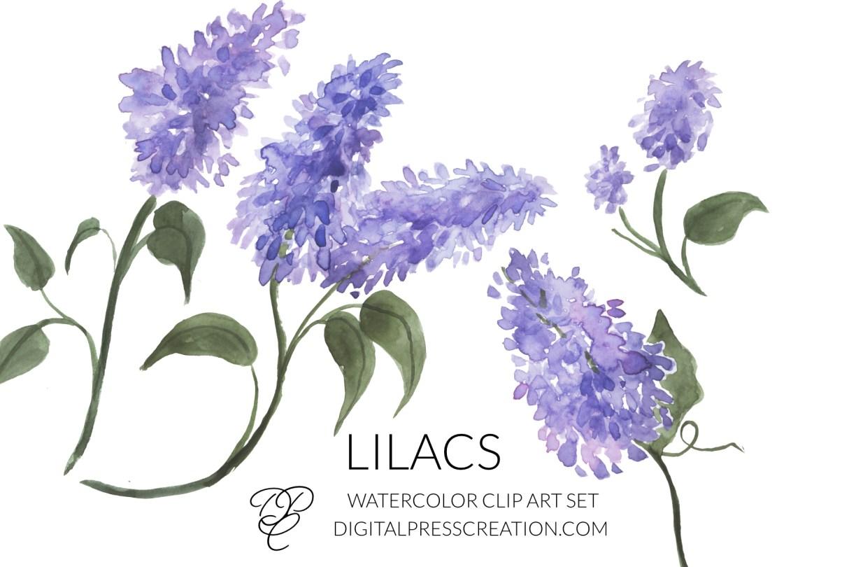 Lilacs clipart transparent