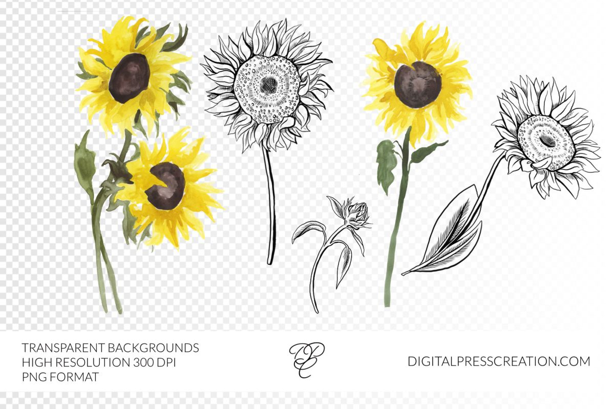 Ink and watercolor sunflowers clipart digital illustration png
