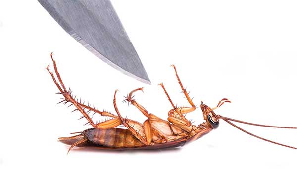 cafards , blattes, cocroaches , kill roaches