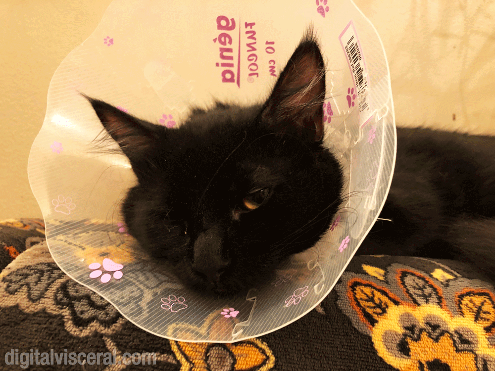 Black Maine Coon cat neutered with cone