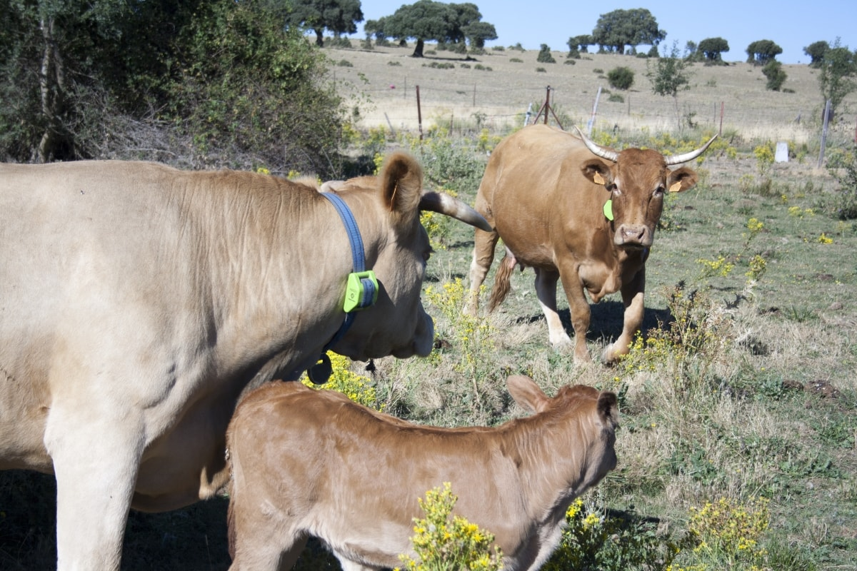 Cattle | GPS cattle tracker - Tracking and monitoring livestock