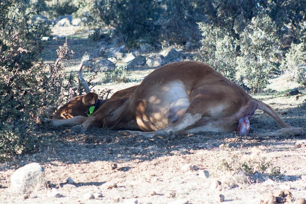 Vaca Limousin pariendo un ternero.
