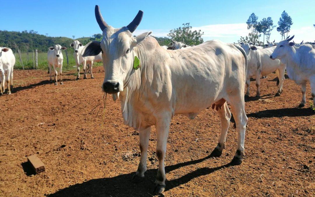 Los GPS para ganado de digitanimal se consolidan en LATAM