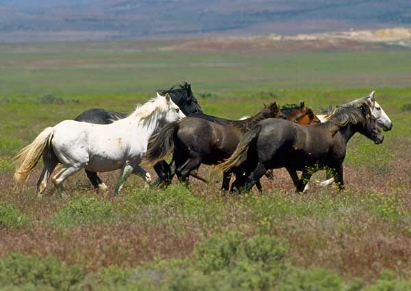 a photograph of several horses running in a field in a herd